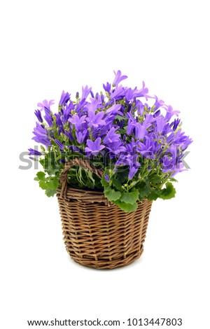 flowerpot of blue bellflowers (Campanula poscharskyana) on white isolated background.