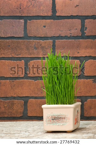 Flowerpot with wheat sprouts near brick wall in the kitchen