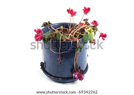 flowerpot with wilted flowers