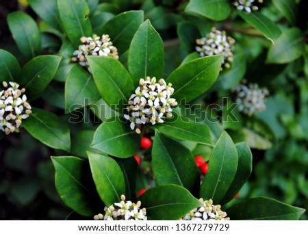 Flowers and berries of Skimmia reevesiana,a rounded evergreen shrub with glossy, leathery leaves native to China and Taiwan