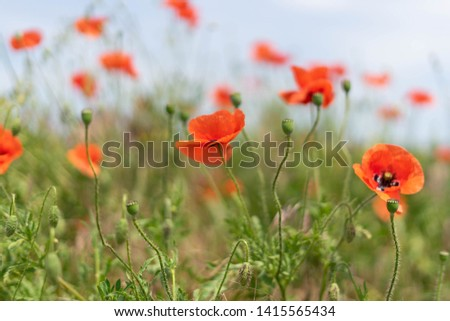 Flowers and buds of poppies growing wild in a field against a background of green grass. Selective focus #1415565434
