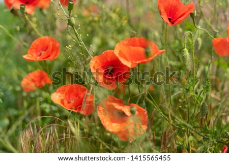 Flowers and buds of poppies growing wild in a field against a background of green grass. Selective focus #1415565455