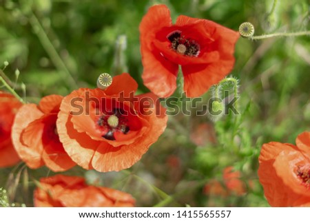 Flowers and buds of poppies growing wild in a field against a background of green grass. Selective focus #1415565557