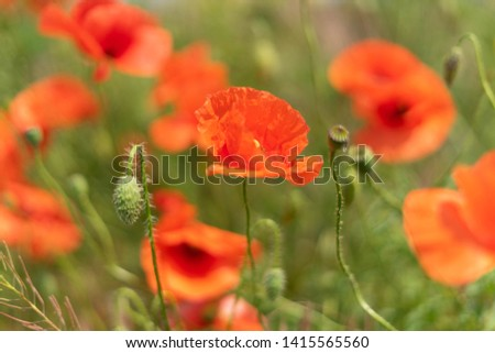 Flowers and buds of poppies growing wild in a field against a background of green grass. Selective focus #1415565560