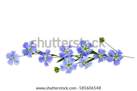 Flowers and capsule with seed flax (Linum usitatissimum) common names: common flax or linseed on a white background with space for text. Top view, flat lay