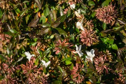 Flowers and foliage of Abelia grandiflora 'Sherwood' shrub (Glossy Abelia) on Olympic Embankment in in Sirius. New village in Imereti lowland near famous resort town Sochi in south of Russia.
