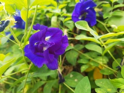 Flowers and foliage of double-flowered Clitoria ternatea, also known as blue butterfly pea, Asian pigeonwings, bluebellvine, blue pea, cordofan pea, and Darwin pea, in a home garden, selective focus