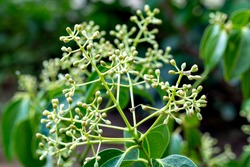 Flowers and foliage of true cinnamon tree (Cinnamomum verum)