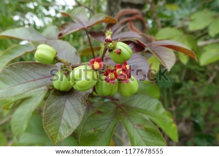 flowers and fruits of Physic nut (Jatropha curcas)