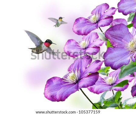 Flowers And Hummingbirds On White Background