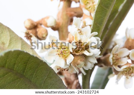 flowers and leaves of the china loquat tree, eriobotrya japonica