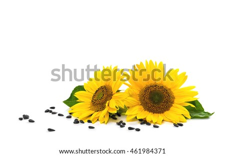 Flowers and seed of sunflower on white background with space for text #461984371