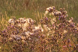 Flowers and seeds of the creeping thistle (Cirsium arvense, also Canada thistle or field thistle) at sunset in contre-jour. The creeping thistle is considered a noxious weed in many countries.