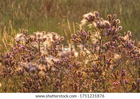 Flowers and seeds of the creeping thistle (Cirsium arvense, also Canada thistle or field thistle) at sunset in contre-jour. The creeping thistle is considered a noxious weed in many countries. Photo stock ©