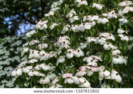 Flowers and white and pink bracts of a Cornus Kousa var. Chinensis at Wisley Gardens, Surrey UK.