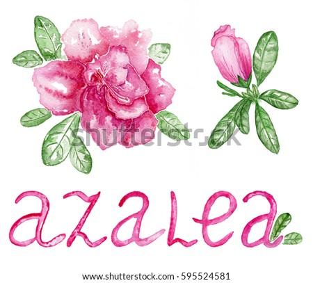 flowers azalea on the white...