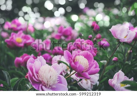 Flowers background. Beautiful pink and red peonies in field. Toning #599212319