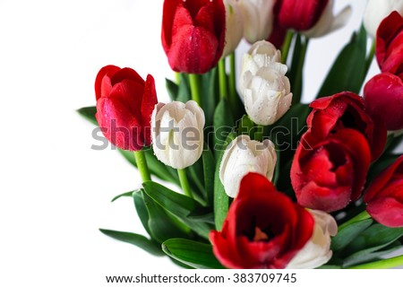 Flowers background. Beautiful view of red and white flowering tulips in a vase, isolated for 8 march or international women day.  #383709745
