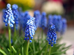 Flowers bloom in Keukenhof garden, The Netherlands