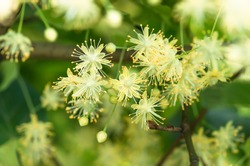 flowers blossoming tree linden wood, used for the preparation of healing tea, natural background, spring.