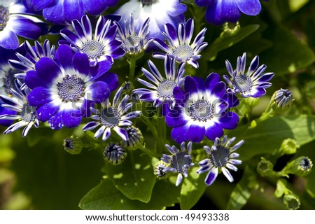 stock-photo-flowers-blue-and-white-cineraria-49493338.jpg