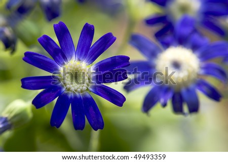 stock-photo-flowers-blue-and-white-cineraria-49493359.jpg