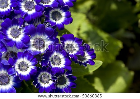 stock-photo-flowers-blue-and-white-cineraria-50660365.jpg