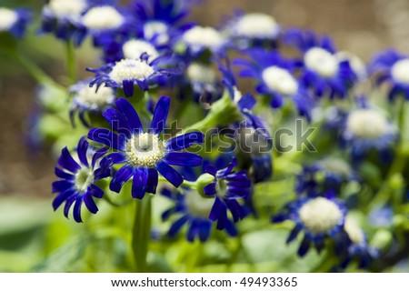 stock-photo-flowers-blue-cineraria-49493365.jpg