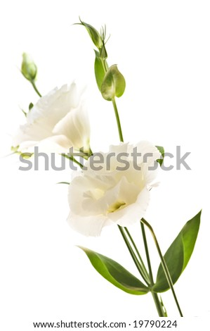 Flowers called prairie rose isolated on white background
