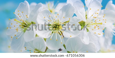 Flowers Cherry flowering against the background of flowers. Spring flowers.