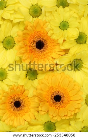 Flowers Chrysanthemums nature background in spring, birthday or mothers day #253548058