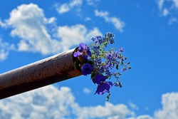 Flowers close-up against the blue sky. A bouquet of wildflowers was inserted into a rusty metal pipe. Blue flowers bells in a bouquet. A bouquet of flowers was stuck into a rusty pipe.