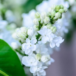 flowers close up blooming white lilac bunch in the garden spring card