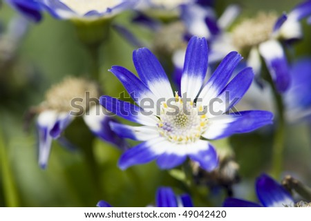 stock-photo-flowers-close-up-of-blue-and-white-cineraria-49042420.jpg