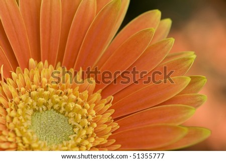 stock-photo-flowers-close-up-of-orange-cineraria-51355777.jpg