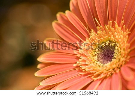 stock-photo-flowers-close-up-of-orange-cineraria-51568492.jpg