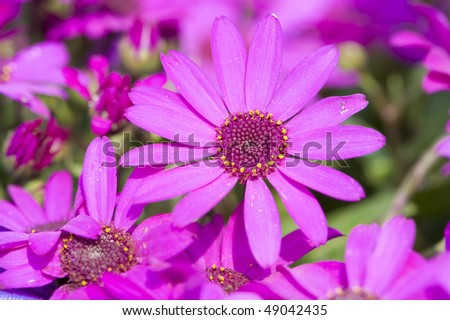 stock-photo-flowers-close-up-of-pink-cineraria-49042435.jpg