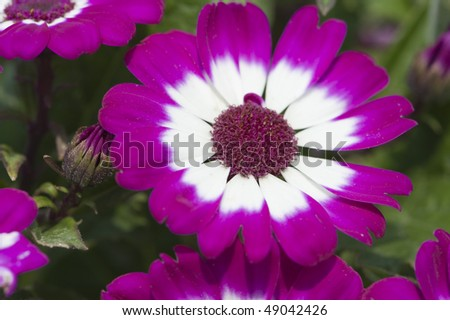 stock-photo-flowers-close-up-of-purple-and-white-cineraria-49042426.jpg