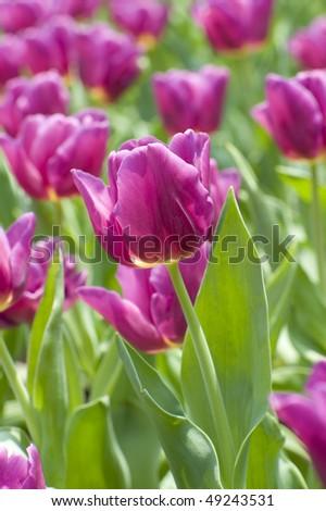 stock-photo-flowers-close-up-of-purple-tulips-49243531.jpg
