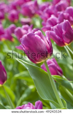 stock-photo-flowers-close-up-of-purple-tulips-49243534.jpg