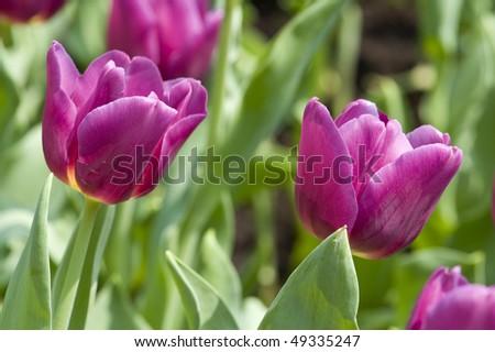 stock-photo-flowers-close-up-of-purple-tulips-49335247.jpg