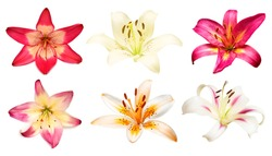 Flowers collection multicolored lilies and daylilies isolated on white background. Stamen and pistil. Hello spring. Flat lay, top view. Object, studio, floral pattern