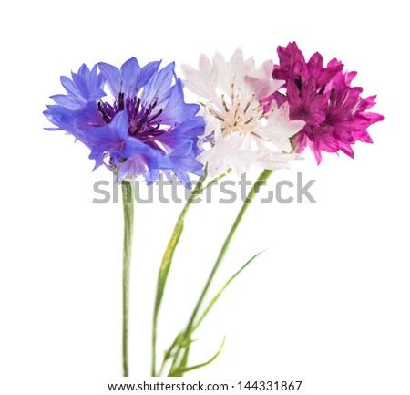 Flowers cornflowers on a white background
