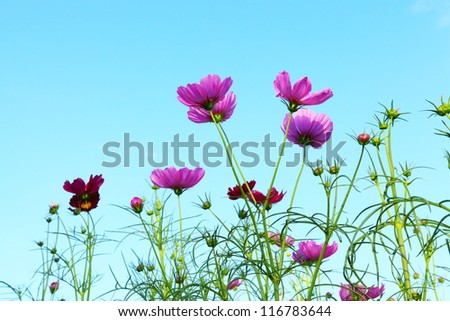 flowers cosmos against the blue sky.( Cosmos sulphureus Cav.)