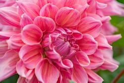 Flowers Dahlia sort Ottos Thrill blossom in the garden, close up