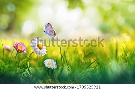 Flowers daisies in grass and butterfly in meadow in nature in rays of sunlight in summer or spring close-up macro. Picturesque colorful artistic image with a soft focus.