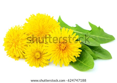 Flowers dandelions with leaves close-up isolated on white background.