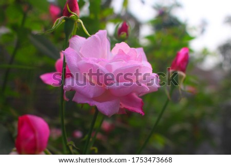 Flowers Different Types of Flowers Red Roses Pink Jaba Shapla Flower Flower Collection of All Types of Flowers, All Collections of Flowers of Different Colors Flower Flower Fair