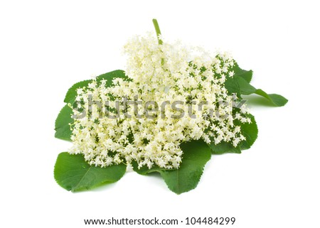 Flowers elderberry  isolated on a white background - stock photo