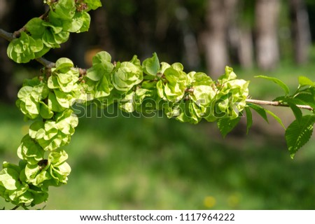Flowers, elm seeds. karagach the usual name for several types of elms growing in the Volga region, the Southern Urals, the Caucasus, Central Asia and other southern regions: